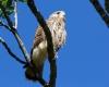 faucons-crecerelles-10