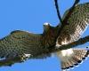 faucons-crecerelles-11