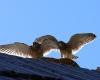 faucons-crecerelles-12