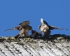 faucons-crecerelles-15