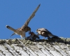 faucons-crecerelles-17