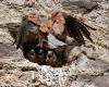 faucons-crecerelles-4