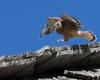 faucons-crecerelles-9