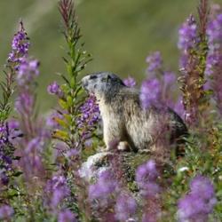 fleurs-de-vanoise-marmotte-vignette